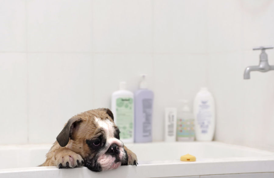 Bulldog puppy in the bathtub : Bulldog English Bulldog Puppy Bathtub Shower Domestic Bathroom Bathroom Domestic Domestic Animals Mammal One Animal Pets Animal Themes Dog Canine Domestic Room Indoors  Home Animal No People Small Lap Dog Hygiene Animal Head  Hygiene Pug Flooring Purebred Dog 50 Ways Of Seeing: Gratitude