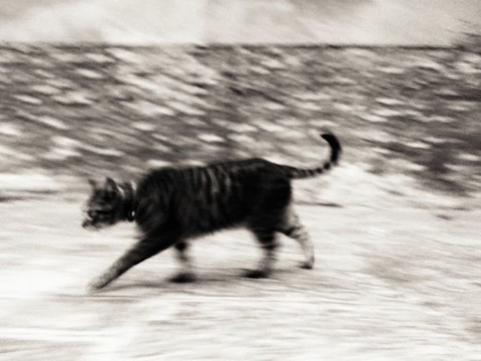 Kitty Cat Animals In The Wild Animal Wildlife Blurred Motion One Animal Animal Animal Themes Side View Nature Outdoors Motion No People Day Cat Elégance Class Power Hunting Beautiful Lethal Brick Wall Tradition Timeless Predator Motion Blur Friend Or Foe Pet Portraits Black And White Friday