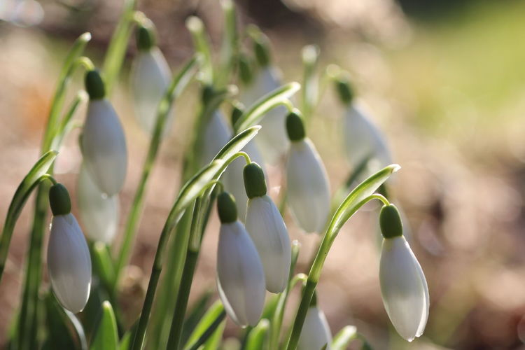 Beautiful spring Growth Plant Beauty In Nature Nature Close-up Flower Fragility Vulnerability  Focus On Foreground Green Color Day Freshness No People Flowering Plant Selective Focus Snowdrop Plant Stem Beginnings Outdoors Bud Purple