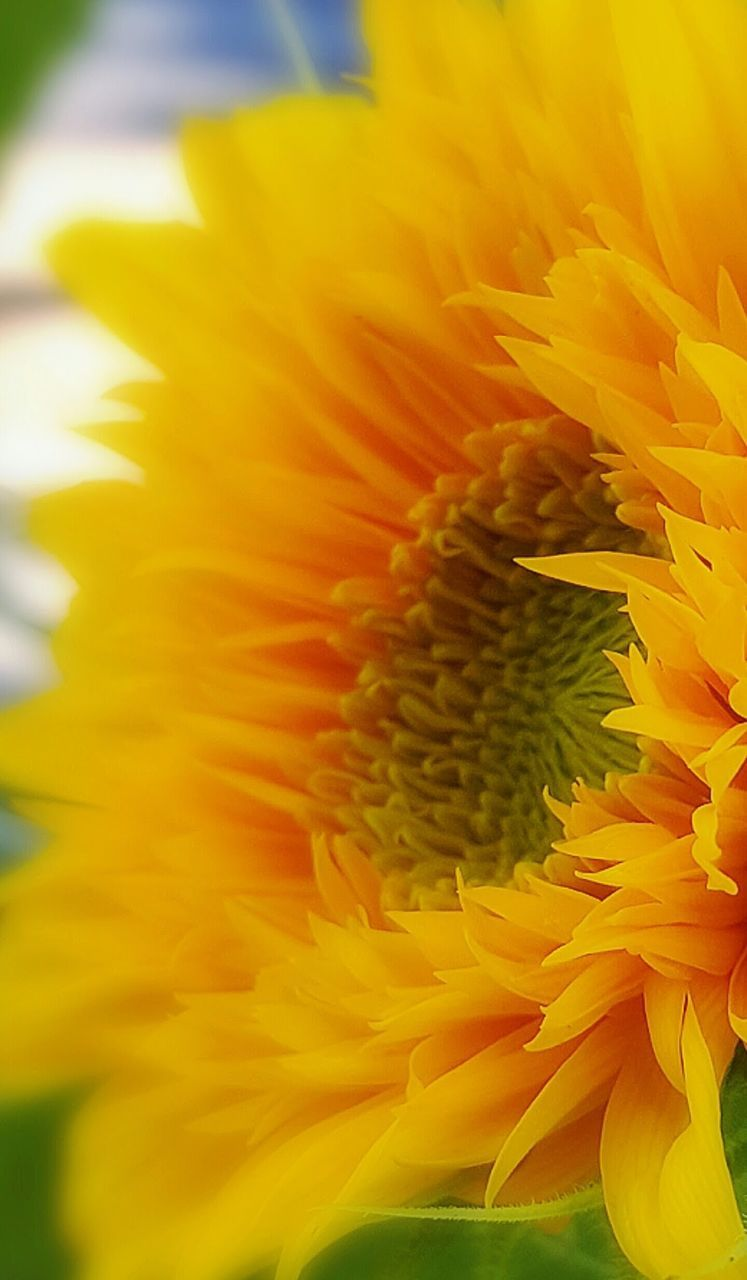flower, petal, fragility, flower head, freshness, beauty in nature, growth, nature, yellow, close-up, springtime, plant, no people, blooming, sunflower, outdoors, day, black-eyed susan