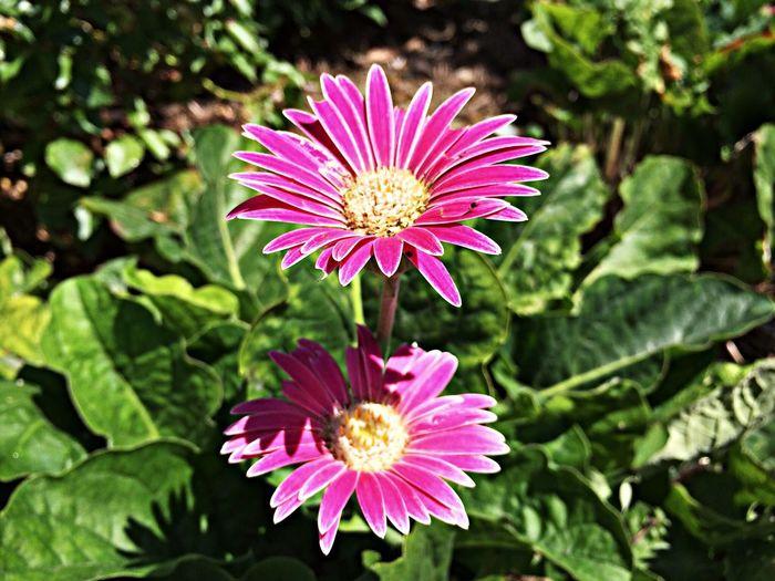 African Daisy Summer Flowers Garden