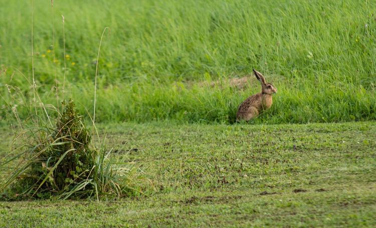 Rabbit Grass Animal Themes One Animal Field Animals In The Wild Nature Bird Green Color Growth Mammal No People Animal Wildlife Outdoors Day Bunnie Rabbit Nature Photography Natureporn