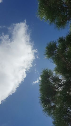 Earth and sky. Pine Tree Clouds Pine Needles Pivotal Ideas Colour Of Life TheWeekOnEyeEM