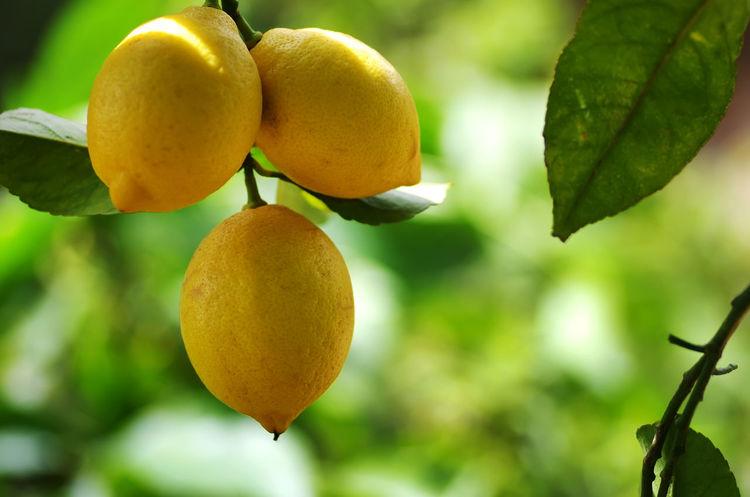 yellow lemons hanging on tree Lemons Citrus Fruit Close-up Food Food And Drink Freshness Fruit Fruit Tree Healthy Eating Leaf Nature Plant Part Ripe Yellow Yellow Lemons Yellow Lemons Hanging On Tree