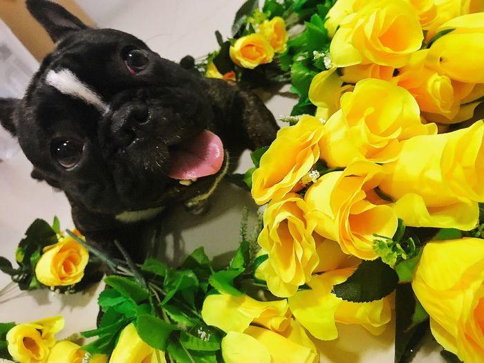 Close-up of black dog flowers