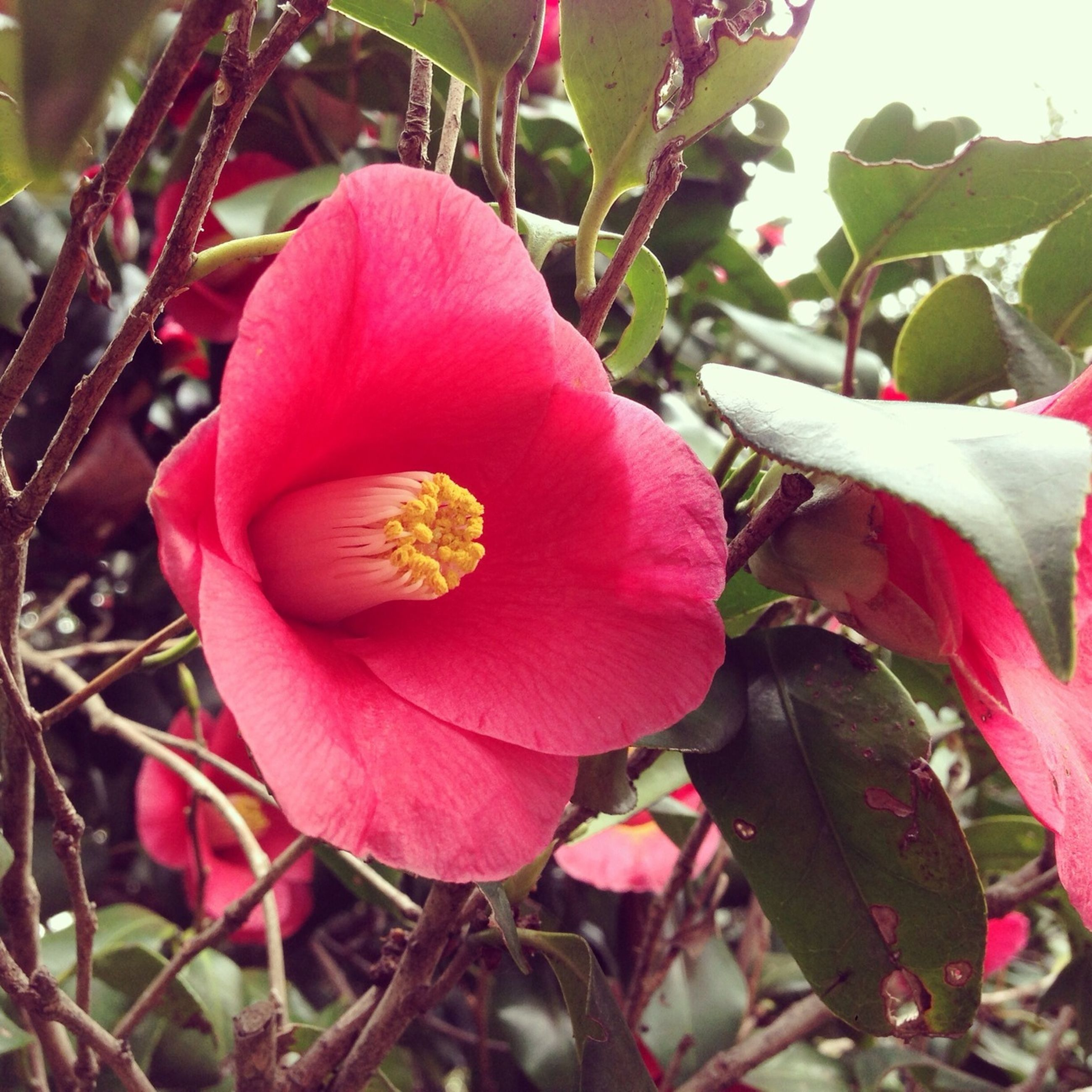 flower, petal, freshness, growth, fragility, flower head, beauty in nature, leaf, close-up, nature, pink color, blooming, plant, red, focus on foreground, in bloom, blossom, single flower, bud, stamen