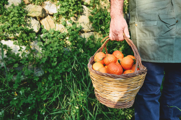 Ripe natural organic citrus fruit in a basket in the hands of farmer.harvest country village concept