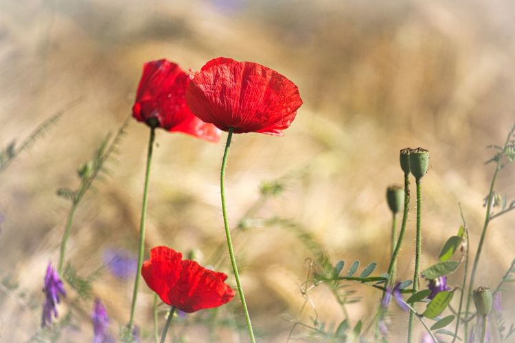 Red Flowering Plant Flower Plant Beauty In Nature Freshness Vulnerability  Fragility Flower Head Poppy Petal Nature Close-up Selective Focus Focus On Foreground Field Meadow Flowers Meadow Fieldscape Nature_collection Nature Photography Naturelovers Lovely Bokeh Beautiful Nature Scenics - Nature Beauty In Ordinary Things Walking Around Taking Pictures Natural Beauty Flowers, Nature And Beauty Flower Collection Flower Photography EyeEm Nature Lover EyeEm Gallery Eye4photography  Growth