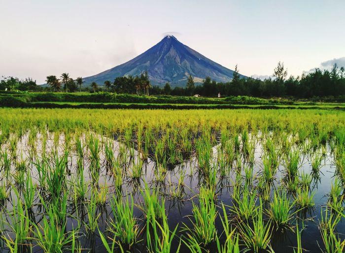 Rice Fields #landscape #nature #photography Flower Tree Rural Scene Plant Cloud - Sky Volcanic Landscape Active Volcano