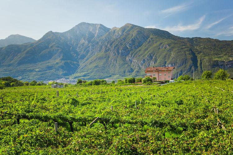 Alpine vineyard