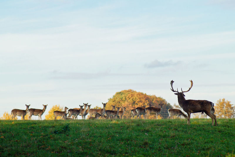 Deer standing on grassy field against sky