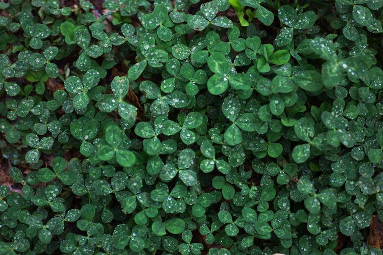 雨の日のクローバー 四つ葉みつかりますか? Japan Photography OSAKA Japan Rainy Days Backgrounds Full Frame Close-up Green Color Clover Leaves Water Drop Drop RainDrop