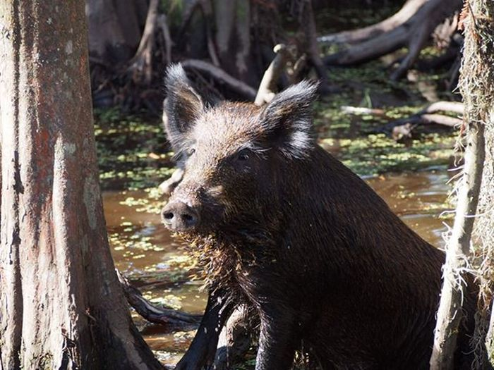 A wild boar chilling out in Honey Island Swamp hunting for the marshmellows they throw off the boat to attract them --------------------------------------------- Pig Piggy Wildboar Nature Naturelovers Instanature Cute Instacute Hairy  Swamp Swamplife Wildlife Wildlifephotography Sunnyday Olympus Wanderlustcontest Wanderlust Travelusa Travelgram Travelgram Exploreus Neworleans Catchmygoodside