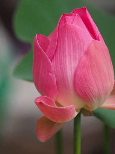Pink lotus and green leaf