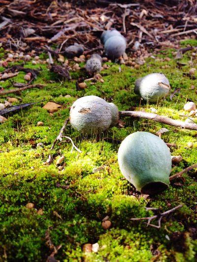 The Great Outdoors - 2015 EyeEm Awards Gumnuts Moss Winter In Australia Western Australia Swan Valley WA