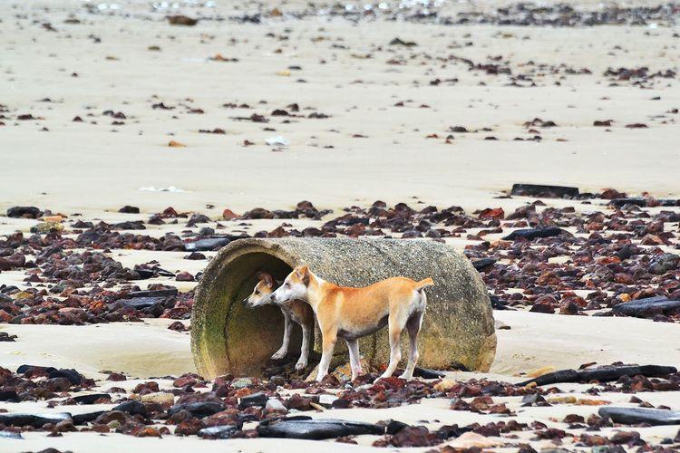Stray Dogs At Beach