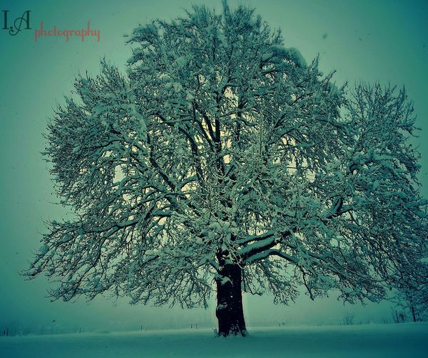 Chinar tree in winter (kashmir) First Eyeem Photo