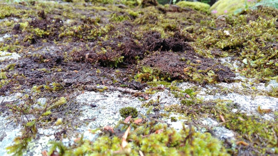 Mossy rock Day Grass Green Green Color Growth Lush Foliage Moss Moss & Lichen Moss And Leaves Moss And Lichen Moss And Rock Moss And Twigs Moss Close Up Moss On Rock Moss On The Rock Moss-covered Mossyforest Nature Rock Rock - Object Rock And Moss Rock And Moss Close Up Rock Texture Vitosha Mountain Vitosha National Park