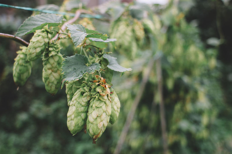 Beer Brewing Beer Humulus Lupulus Beauty In Nature Brewing Close-up Day Flower Flowering Plant Focus On Foreground Food Food And Drink Fruit Green Color Growth Healthy Eating Hops Leaf Nature No People Outdoors Plant Plant Part Tree