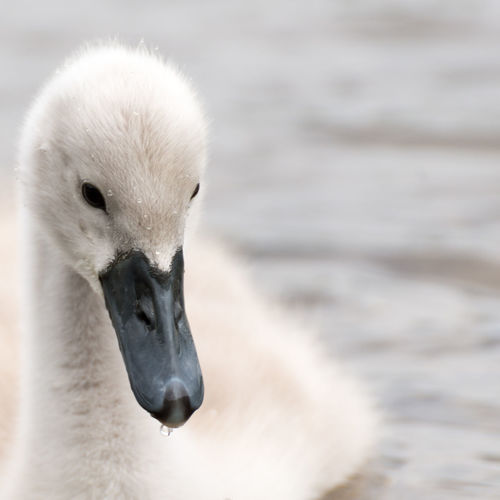 White Swan on a lake near cologne/germany. Animal Animal Photography Animals Beautiful Beauty In Nature Bird Bird Photography Birds Chick Chicklet Fledgling Hatchling Loch  Nature Portrait Sea Swan Swans Tranquil Tranquil Scene Tranquility White White Swan Wild Wildlife