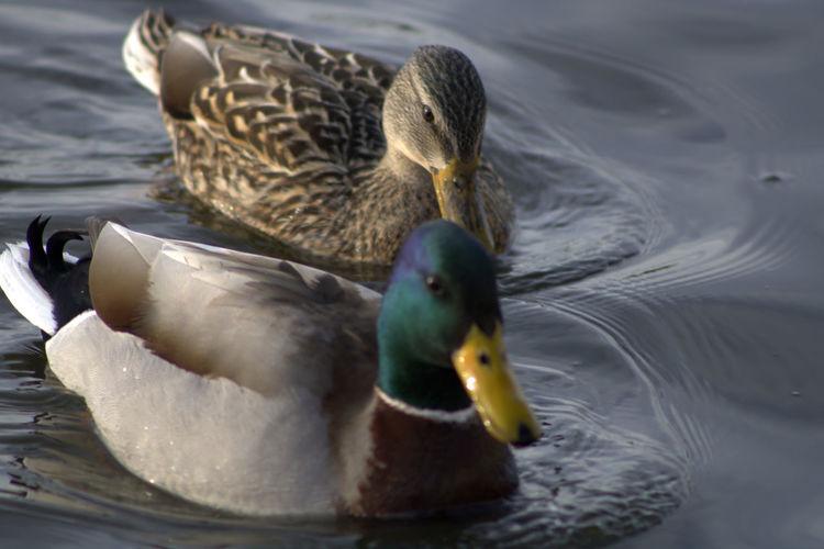 Mallard duck swimming in lake