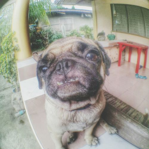 treats please!! 😱😱😱 Pug Puglife Puglover