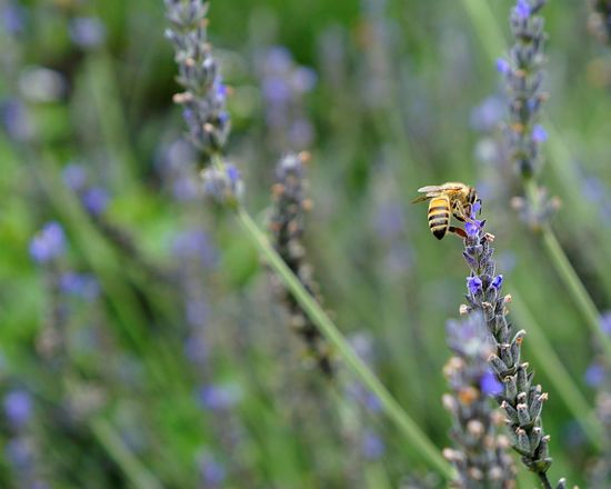Insect One Animal Animal Themes Animals In The Wild Nature Flower Bee Day Plant Growth Fragility Lavander Outdoors Beauty In Nature Animal Wildlife Close-up Pollination Freshness Buzzing Flower Head