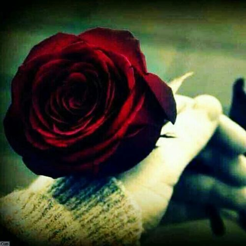 Red Flower Which She Gave Me Her Will Remain Inmy Heart