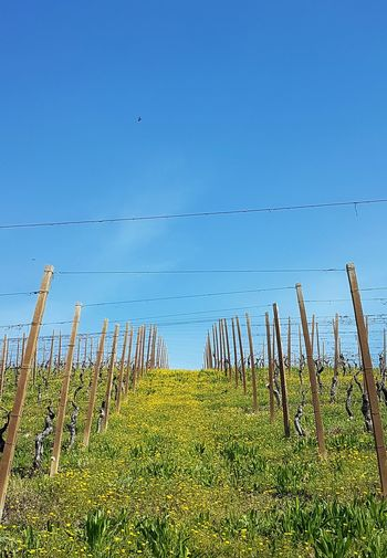 Blue Nature Agriculture Clear Sky Farm Crop  Day Growth Sky Field Outdoors Beauty In Nature No People Rural Scene Tranquility Flowerbed Langhe Piedmont Italy Vineyard Spring Blooms Fragility Freshness Blossom EyeEmNewHere Idyllic