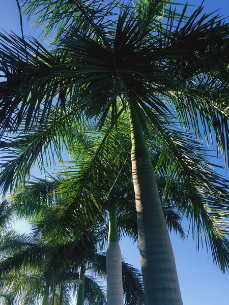 Palm Tree Low Angle View Growth Tree Tree Trunk Sky Green Color Branch Coconut Palm Tree Tall - High Nature Palm Leaf Outdoors Day Scenics Palm Frond Blue Beauty In Nature Tranquil Scene Tropical Tree