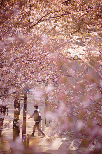 People on cherry blossom in park