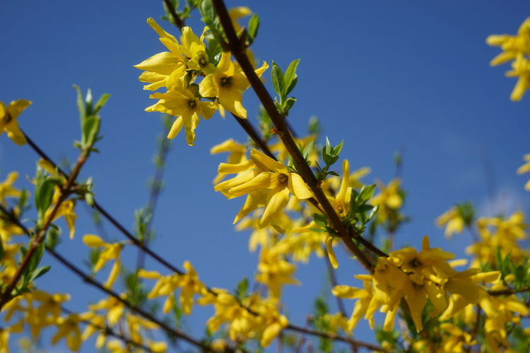 Plant Sunny Day Forsythia Outdoors Spring Spring Flowers Yellow