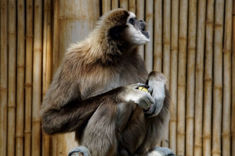 Gibbon sitting against bamboo wall at zoo