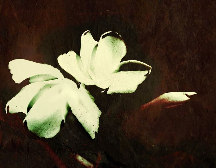 plumeria series Digital Expression Flower Flowers, Nature And Beauty Photo Art Digital Expressionism From My Point Of View Blended Images, plumeria in the desert