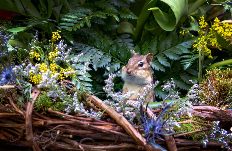 Alert little chipmunk looks around for danger as he hides in a  basket of flowers and ferns