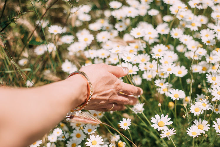 Close-up of hand holding daisy flowers on field