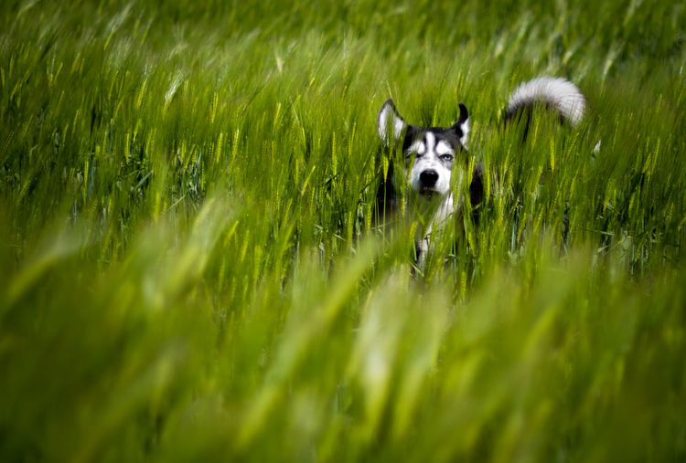 Animal Themes One Animal Animal Mammal Grass Domestic Pets Domestic Animals Plant Dog Canine Green Color No People Selective Focus Portrait Vertebrate Nature Field Looking At Camera Day Animal Head  Siberian Husky Husky Pet Portraits
