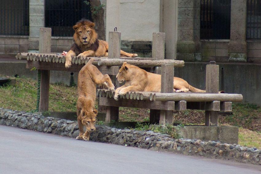 Zoo Animals Lion