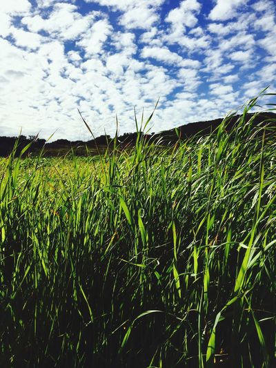 Grass. Growth Agriculture Sky Nature Field Day No People Outdoors Green Color Cloud - Sky Grass Beauty In Nature