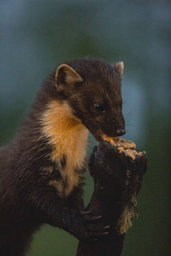 Pine Marten Animal Themes Animal Wildlife Animals In The Wild British Wildlife Close-up Day Eating Mammal Mammals Nature No People Nuts One Animal Outdoors Peanut Butter Pine Marten Pine Marten Close Up Pine Marten Eating Rare Beauty Rare British Wildlife Rare Pine Marten Sniff Vicious Wild Life Photograph