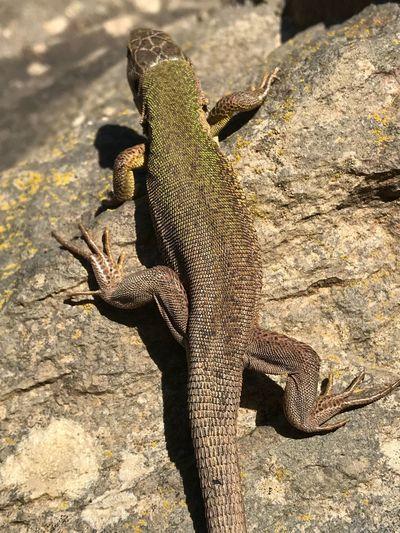 Reptile Animal Themes Animal Animals In The Wild Animal Wildlife One Animal Vertebrate