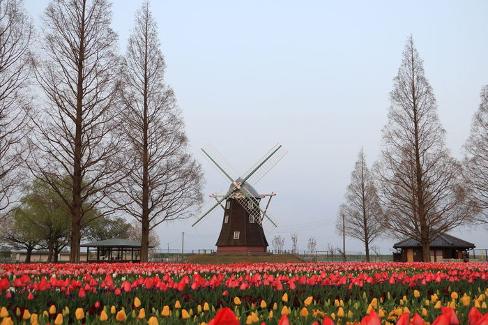 Flowers,Plants & Garden Japan Tulips Windmill Flower Flowerfield Park Springtime Trrees Tulip Tulips Flowers