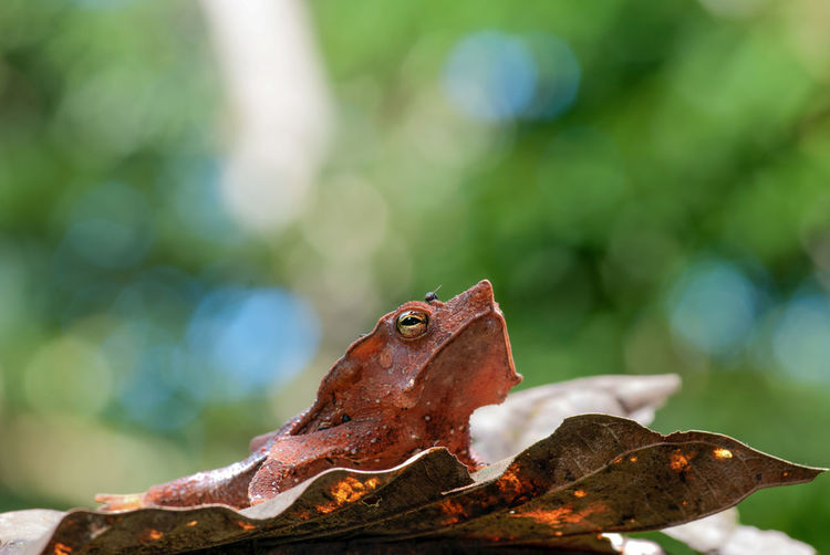 Close-up of south american common toad on leaf