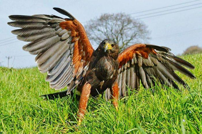 Harris Hawk  Birds Of Prey Taking Photos Get Down Low Hawk Wingspan A Birds's Eye View