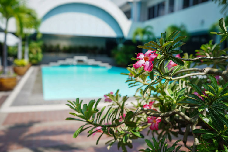 Pink flowering plants by swimming pool