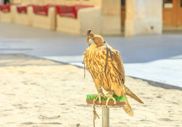 Close up of hooded falcon at Falcon Souq near Souq Waqif in Doha center, Middle East, Arabian Peninsula. Falconry is very popular in Qatar. Sunny day. Falcon Falcon Souq Souq Souq Waqif Doha Qatar Arab Predator Hunting Bird Flying Hood Animal Falconry Falconry Centre Falconry Glove Falconry Hood Copy Space Animal Themes Vertebrate One Animal Animals In The Wild Animal Wildlife Focus On Foreground Day Perching No People Sunlight Nature Land Close-up Outdoors Architecture Built Structure Building Exterior Full Length Wooden Post Falcon - Bird