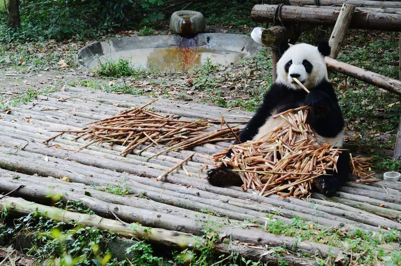 Panda with sticks