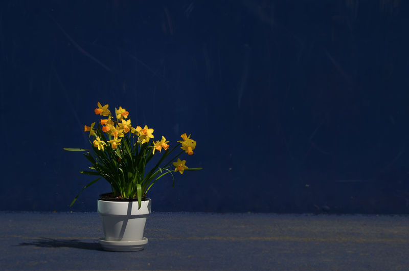 Yellow blooming flowers against wall