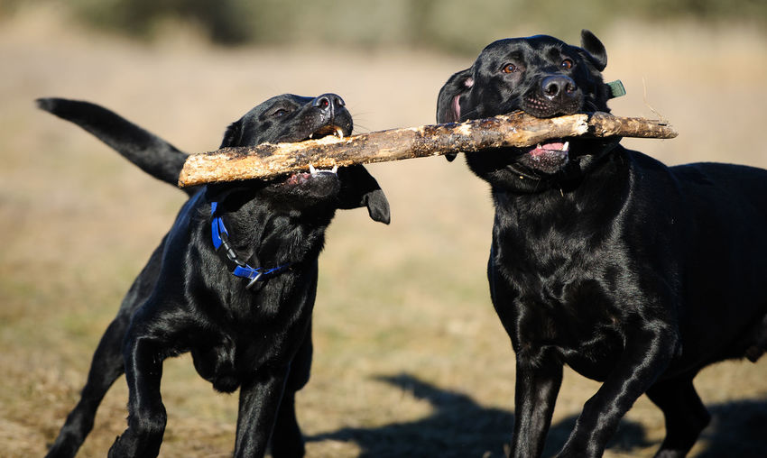 Black Labrador Retriever dog Animal Theme Animal Themes Black Black Lab Canine Day Dog Lab Labrador Retriever No People Outdoors Retriever Two Dogs