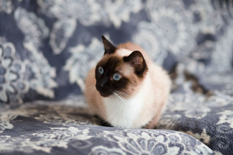 Portrait of siamese cat on bed